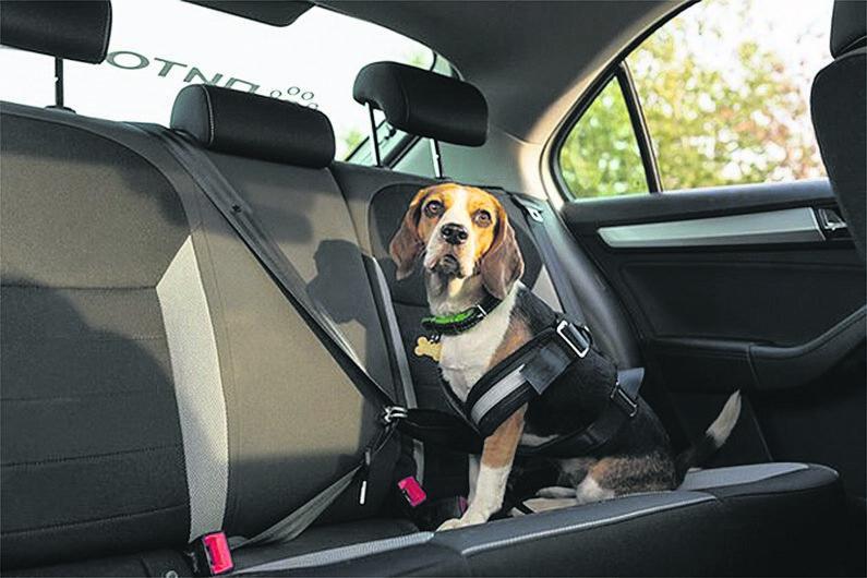 Собака в авто с ремнем безопасности