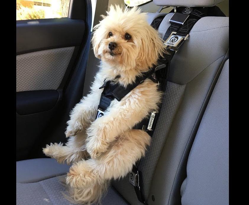 Пушистая собака с ремнем безопасности