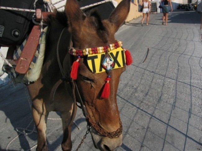 Ослик работает такси